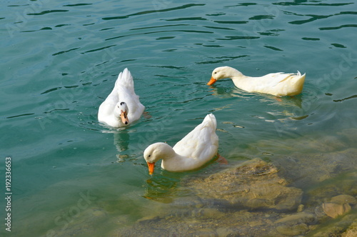 Three white ducks swimming in turquoise water of the El Chorro lake in Southern Spain
