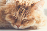 Cute fluffy ginger cat sleep and relax, muzzle portrait - 192348466