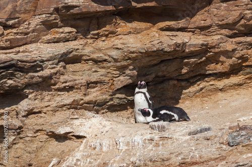 Aluminium Pinguin a couple of breeding african penguins namibia africa
