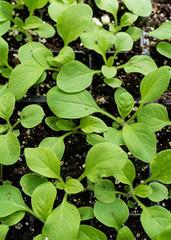 Top down view of petunias seedlings growing in a greenhouse flat.
