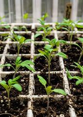 Tomato seedlings growing in a styrofoam tray in a greenhouse.