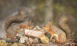 two red squirrels with a wheelbarrow and pebbles