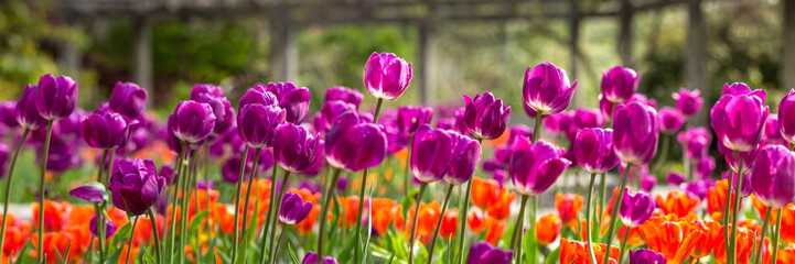 Field of purple and orange tulips © Merry