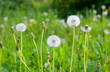White dandelions on summer lawn. - 192362414