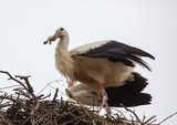 White storks sitting in its nest on a roof in Germany during summer time - 192366845