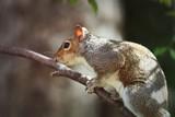 Grey Squirrel - 192368062
