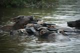 Water Buffalo - 192369253