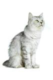 Britisch Langhaar Katze sitzt  isoliert auf weißem Grund