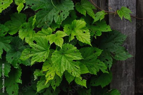 Staande foto Lelietje van dalen old fence and hop