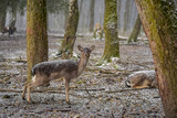The looking fawn in the forest on a snowy day - 192372455