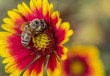 Honey bee on brightly coloured flower