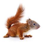 Eurasian red squirrel. - 192378612