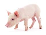 Pig on white - 192378680