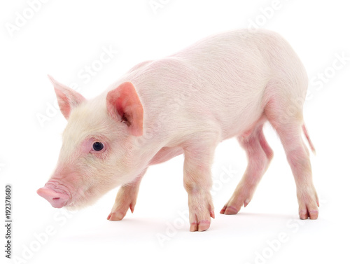 Foto Murales Pig on white