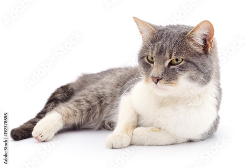 Cat on a white background Poster