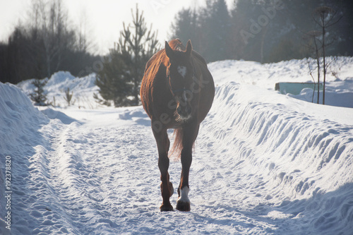 Alone red-haired foal in a snow-covered forest