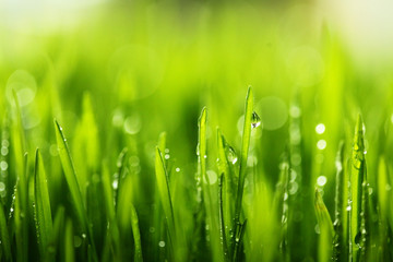 Fresh green grass with water drops . Selective focus.Spring theme.Concept freshness.Macro shot