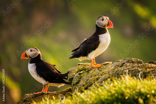 Puffin couple Poster