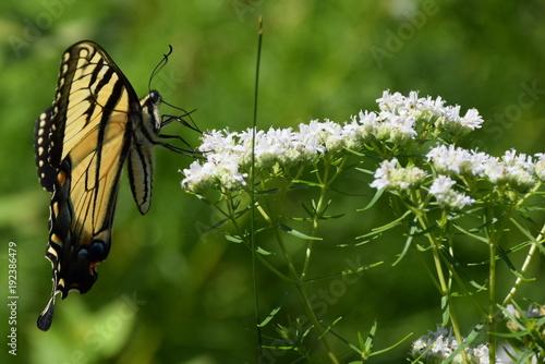 Aluminium Vlinder Swallowtail butterfly