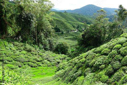 Papiers peints Pistache Malaysia Cameron Highlands tea plantation