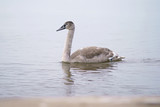 Young grey Mute swan bird (cygnet) swimming in Baltic sea in winter