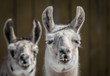 Domestic Llama - Llama Glama - Brothers  Portrait