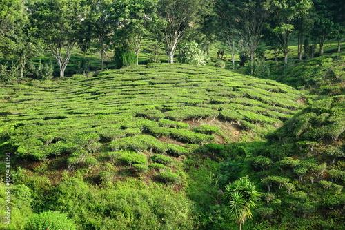 Foto op Canvas Pistache Malaysia Cameron Highlands tea plantation
