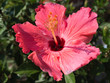 Blooming Pink Hibiscus flower at Wave hill garden in Bronx, NY