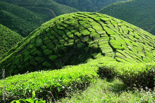 Deurstickers Lime groen Malaysia Cameron Highlands tea plantation
