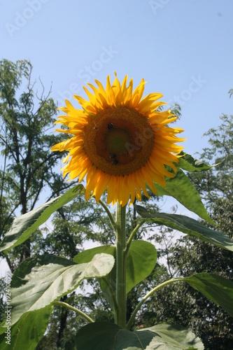 Gran fiore