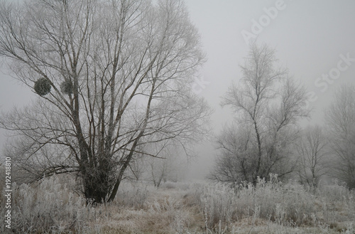 Magnificent hoarfrost on birches. A winter forest on rising in a hard frost.