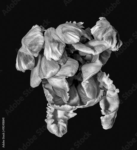 Fine art still life monochrome macro portrait fantasy of a single isolated flowering parrot tulip blossom in surrealistic / fantastic realism style © Olaf Holland