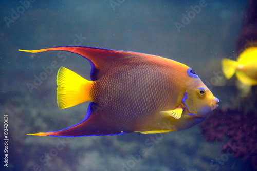 fish-angel-queen-holocanthus-ciliaris-in-the-aquarium
