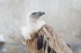 Белоголовый сип ( Griffon vulture) - 192420678