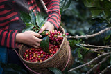 Harvest arabica coffee berries on its branch. - 192424231