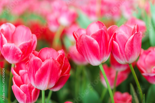 Aluminium Candy roze Beautiful Red Tulips, Flower background