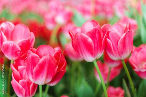 Aluminium Candy roze Beautiful Red Tulips, Flower background