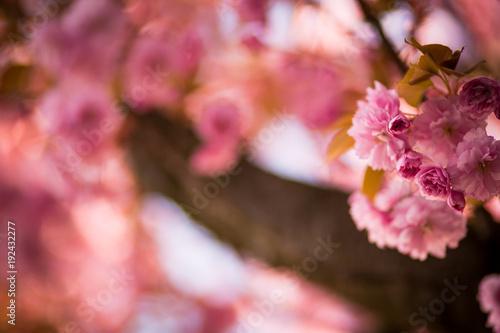 Plagát Kirschblüte im Frühling
