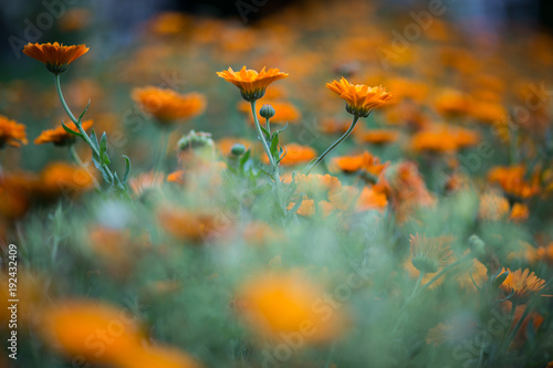 Foto op Canvas Natuur Ringelblume