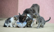 Cat and kittens together eating cat food from the same plate.