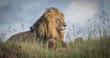 Quadro King of the Jungle