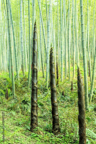 Papiers peints Bambou Bamboo and bamboo forest