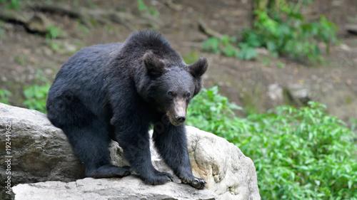 Wild Brown Bear from Carpathian Mountains