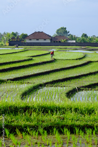 Deurstickers Rijstvelden Traditional green terraced rice paddy in Bali, Indonesia