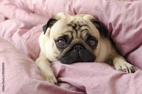 small cute dog breed pug sleeping in master's bed