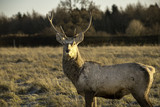 Young male stag in Autumn - 192474475