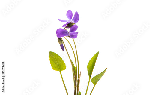 forest violet isolated - 192478415