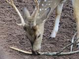 Tête de cerf dans un parc à cochin (kerala, inde) - 192480032