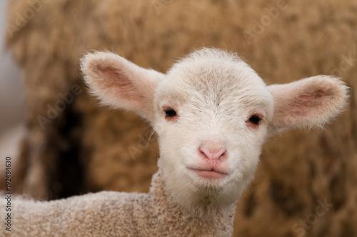 White Lamb Portrait in springtime