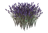 3D Rendering Lavender Flowers on White - 192486494